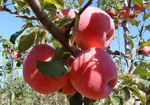 四种冬天养胃水果