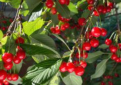 樱桃的功效与作用有哪些?樱桃不能和什么食物一起食用?