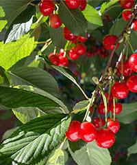 樱桃的食用功效