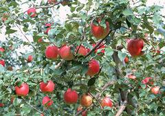 苹果有怎样的美食做法,在制作的过程中需要注意些什么?