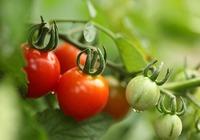 西红柿的介绍
