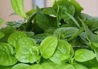 木耳菜种植技巧