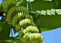 香蕉吃法介绍