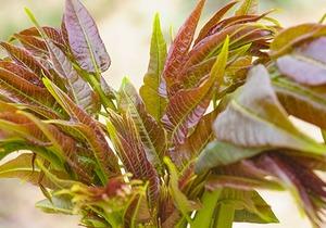 香椿有何功效,高血脂患者可以食用吗?如何处理香椿才能将营养最大化?