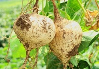 豆薯的功效和禁忌