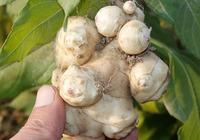 菊芋的吃法介绍