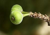 雀榕的种植方法