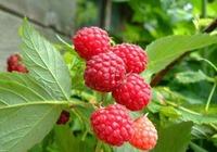刺莓与山莓的区别