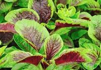 红苋菜的功效和禁忌
