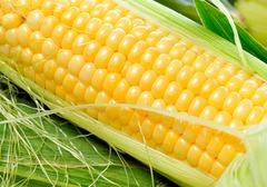 玉米尖上发霉是什么原因,碰到发霉情况应该怎么办