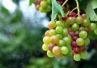 不同颜色葡萄的区别
