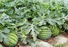 瓜西种植方式有哪些,选择什么样的种植时机最合适