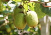 猕猴桃能减肥么