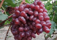 葡萄籽真的能够吃吗
