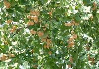 银杏果食用方法