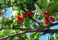 樱桃的种植环境