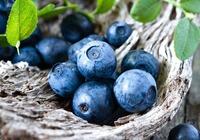 蓝莓的种类介绍