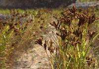 红稗的种植环境