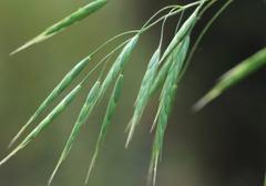 雀麦草如的祛除方法