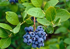 蓝莓的食用禁忌