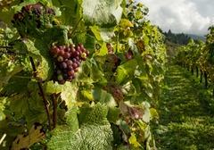 葡萄植株过冬方法