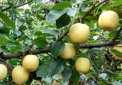 梨子酒的酿制方法,梨子酿酒如何选择材料,李子酒的保存方法