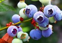蓝莓酒优劣的分辨方法