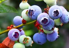如何分辨蓝莓酒的优劣,蓝莓酒泡多长时间能喝?