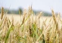 浮小麦的功效