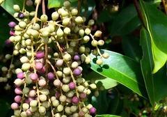 白花酸藤果的种植
