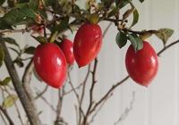 老鸦柿的种植技巧