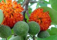 枸树果的功效和药用