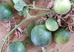 马泡瓜市场价格多少钱一斤?这种水果能直接吃吗,马泡瓜的食用方法介绍