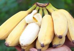 皇帝蕉与普通香蕉之间的区别,皇帝蕉多少钱一斤?营养价值分析
