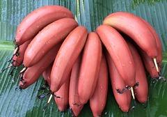 火龙蕉跟普通香蕉有何区别?市场上卖多少钱一斤,食用火龙蕉的注意事项